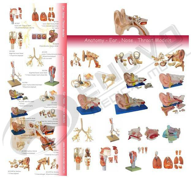 Human System Anatomical Model - Ear,Nose & Throat - ANATOMY STORE ...