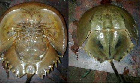 FROZEN WHOLE ROUND HORSESHOE CRABS FOR FISH BAITS