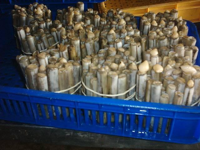 Razor Clam (Bamboo Clam)
