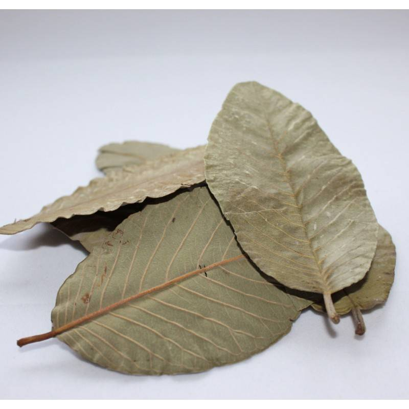 BIG QUALITY FOR GUAVA LEAVES