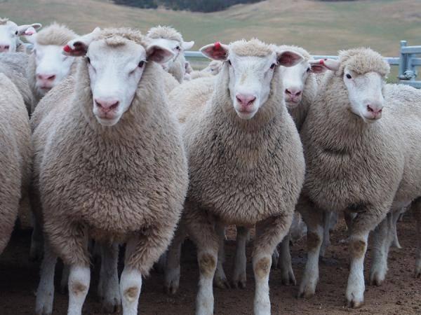 East Freisian dairy milking sheep