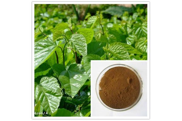 Ivy Leaf Extract, Ivy Extract
