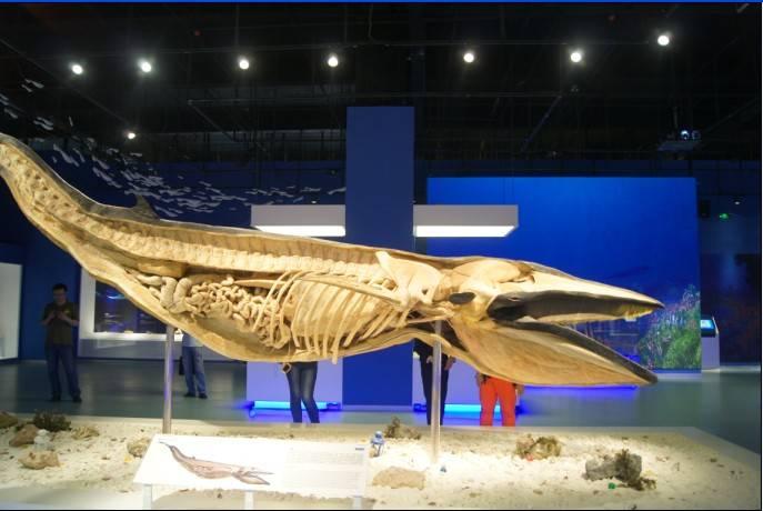 plastinated Baleen Whale