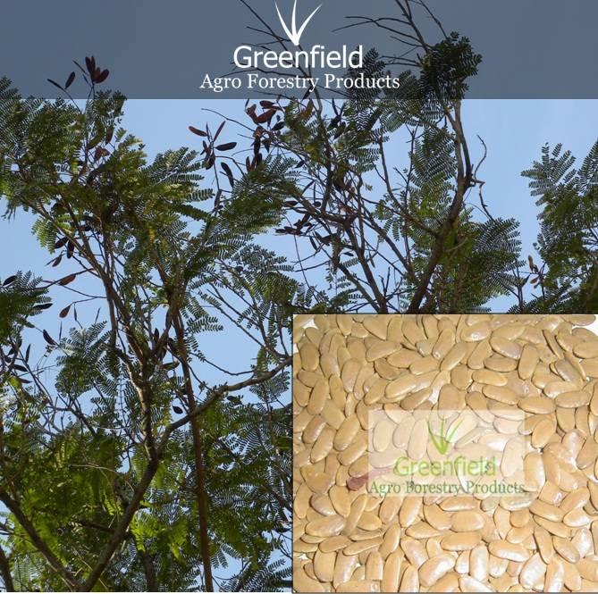 Acacia paltaforum ornamental tree seeds