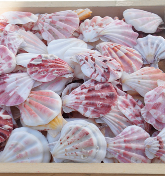 Scallop Sea Shell with High Quality and Best Price