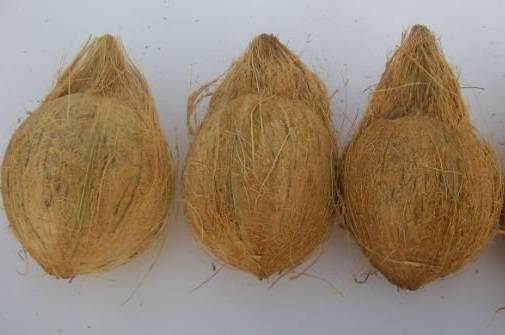 SEMI HUSKed COCONUT dried coconut Vietnam 2016 (Jolie whatsap vibe 84 98 358 7558)