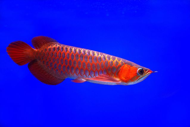 Available Super Red Arowana Fishes
