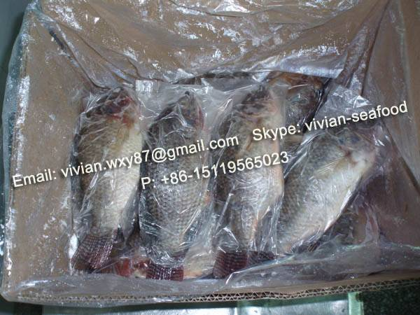 Frozen Black Tilapia Gutted Gilled Scaled
