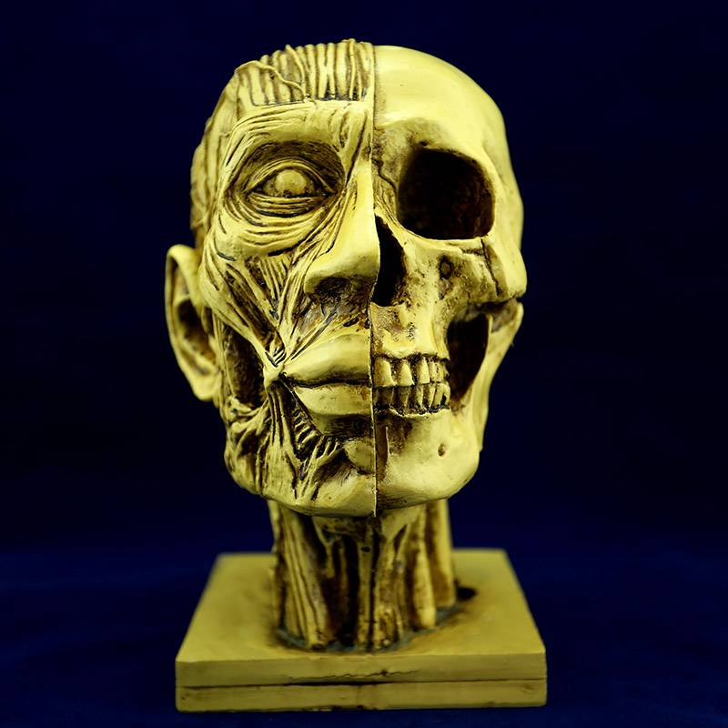 Specializing in the production of the skull skull must 1:1 Medical skeleton model