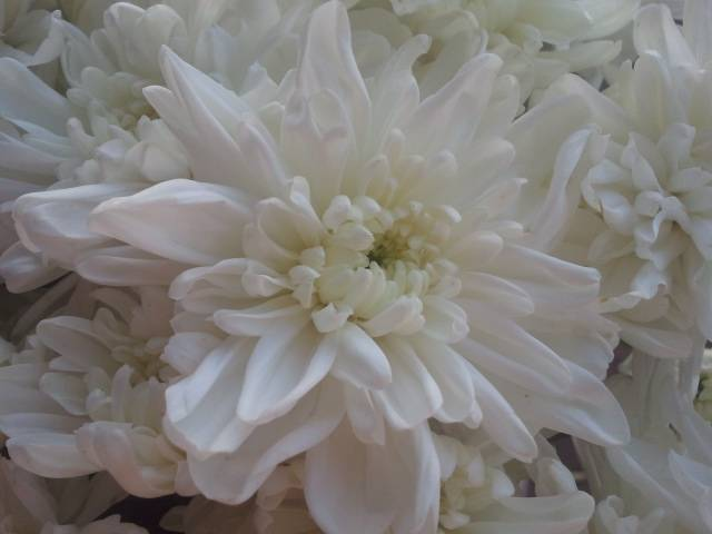 chrysanthemum zembla