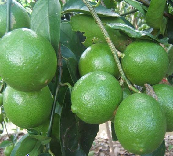 Export fresh Lime, lemon Good quality