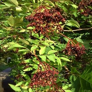natural elderberry extract anthocyanidins25%