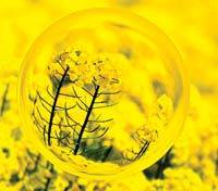 oil rapeseed