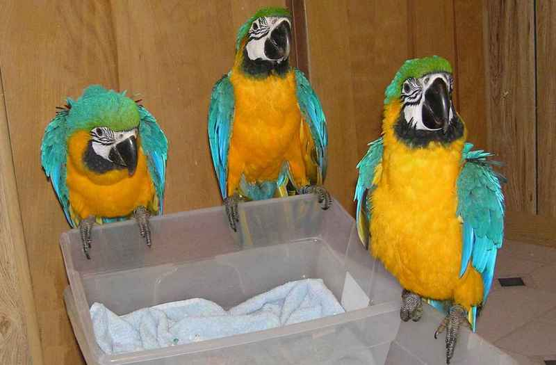Macaw parrots, African Grey parrot, Cockatoos, Electus, Parrot eggs, Ostrich Chick