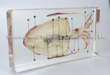 Benji Cuttlefish Dissection Embedded Specimen Laboratory Equipment