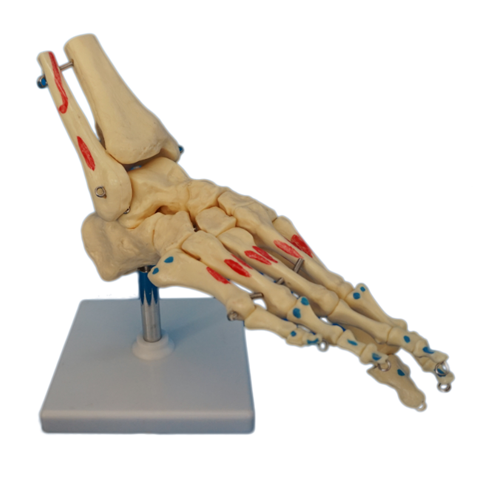 PVC Human Foot and Ankle Skeleton Model