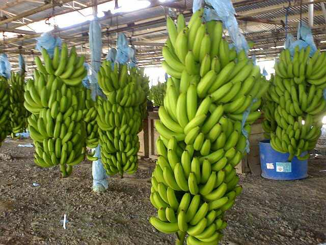 Cavendish banana / Fresh Bananas/ Green Cavendish banana