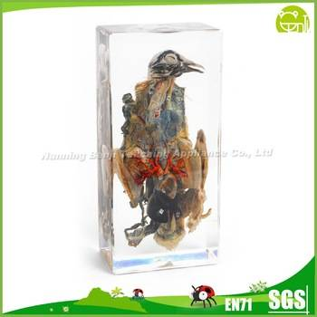 Animal Anatomical Model Pigeon Dissection Embedded Specimen Laboratory Equipment