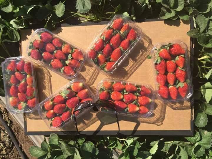 fresh Strawberry,Fresh strawberries,egyption strawberries