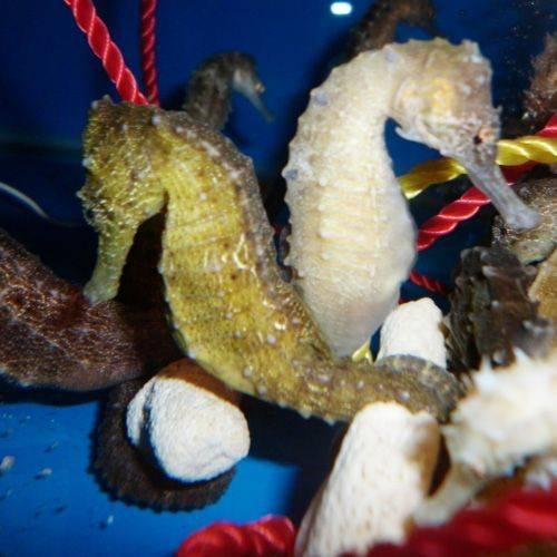 Seahorse - Hippocampus Trimaculatus