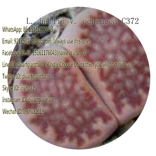 50pcs a set L. hallii v. ochracea C372 seed 25usd