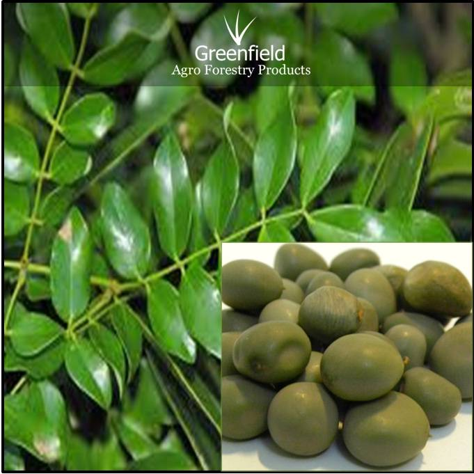 Gataran Forestry  Tree Seeds ( Caesalpinia crista  )