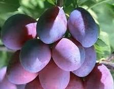 plum extract