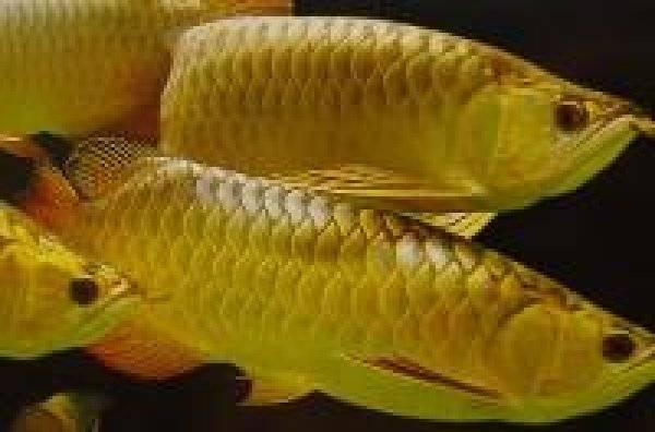 Arowanas,Arowana Fish