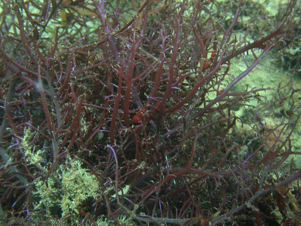 Seaweed Chondracanthus Chamissoi