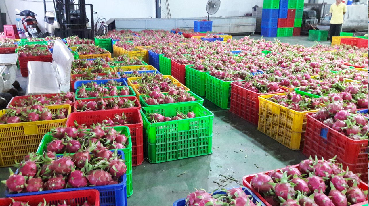 WHITE/RED FLESH DRAGON FRUIT- HP:+1204590950/WHATSAPP/WECHAT