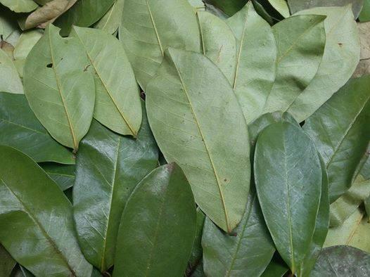 Dried Graviola leaf with high quality
