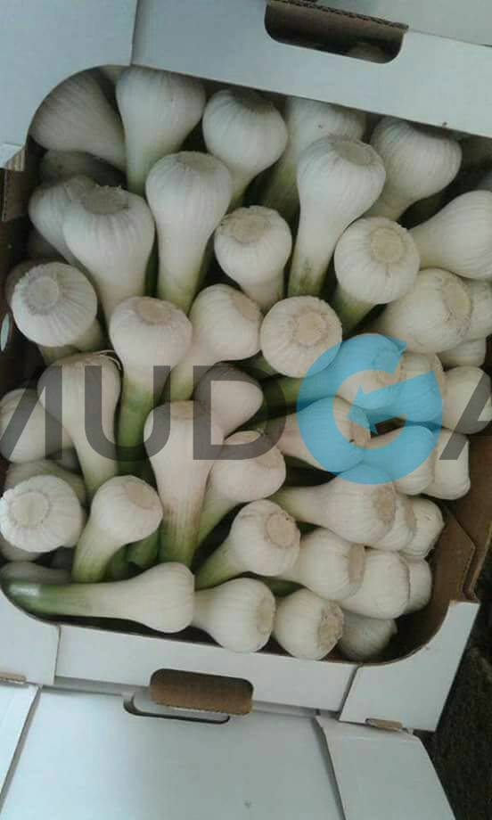Fresh Garlic suppliers, Fresh Garlic Egypt