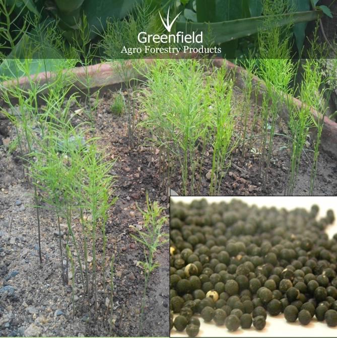 Yellow shatawari Medicinal seeds ( Asparagus racemosus. )