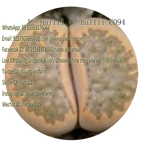50pcs a set L. hallii v. hallii C094 seed 25usd