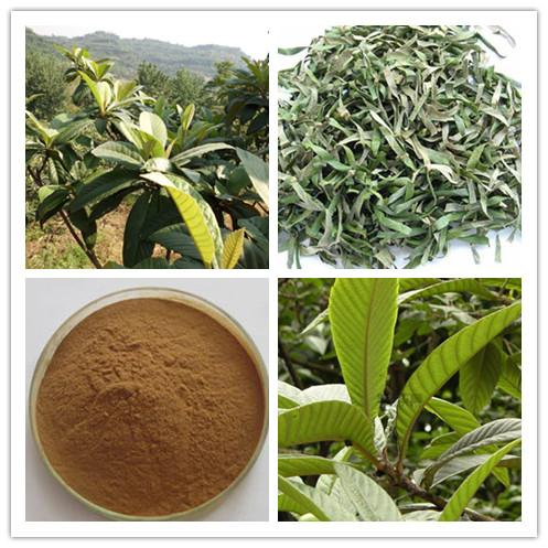 High quality Loquat leaf Extract Powder, Ursolic Acid 25%-98%