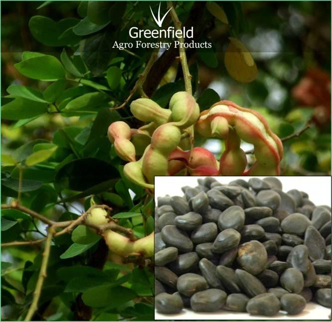 Vilayti Imli Seeds (Pithecellobium Dulce)