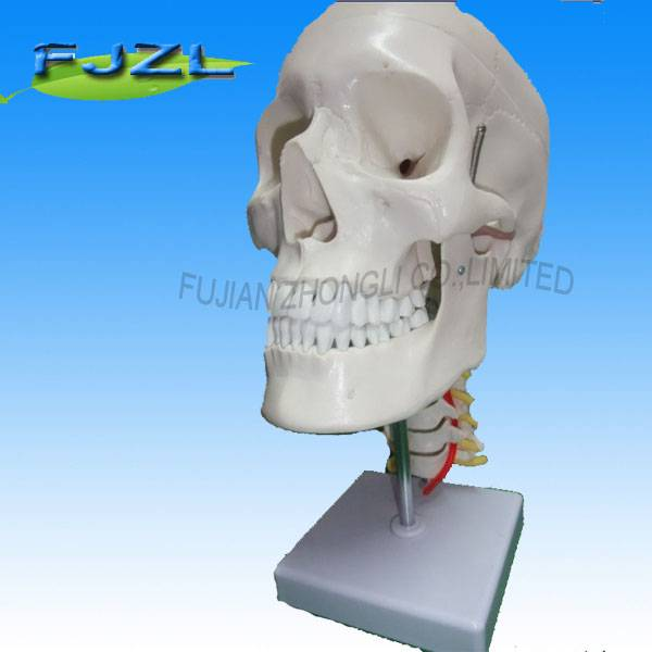 Skull with Cervical Spine human skeleton model for clinical science