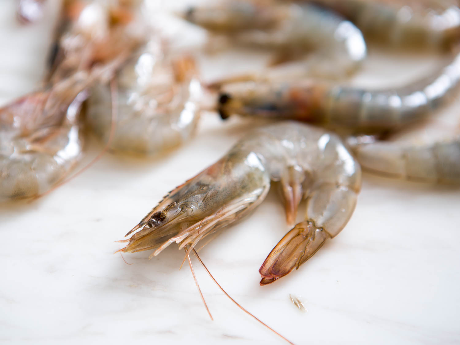 Live Shrimps