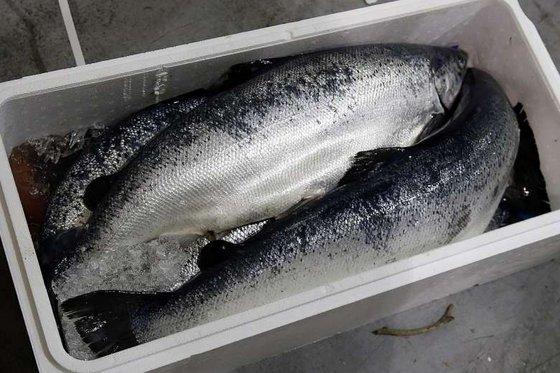 Whole Sale Frozen Horse Mackerel,Salmon , ,Eel ,Sea Bass Globefish and Tuna Fish.