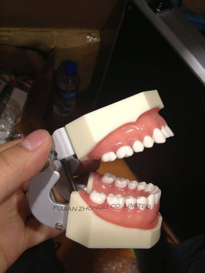 Prosthetic Restoration Jaw Model (28 teeth)